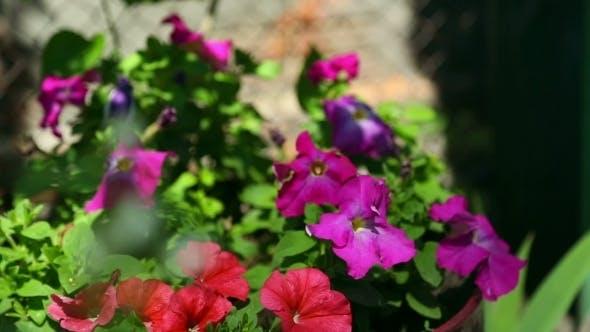 Thumbnail for Petunia And Jasmine