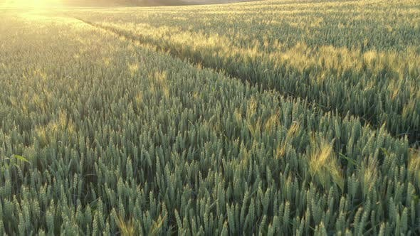 Thumbnail for Sunset over common wheat Triticum aestivum 4K aerial video