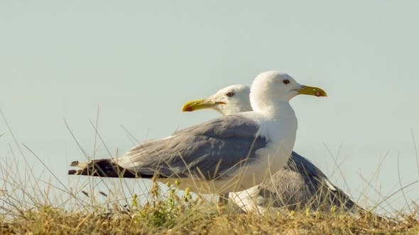 Thumbnail for Two Seagulls In A Wild