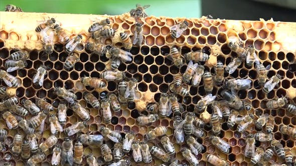 Honey Bees 5