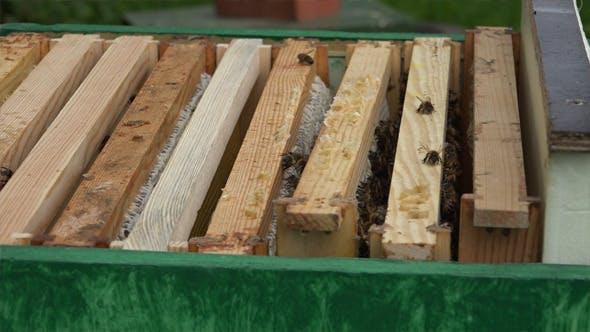Honey Bees 7