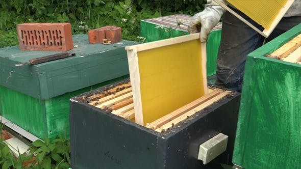 Honey Bees 8