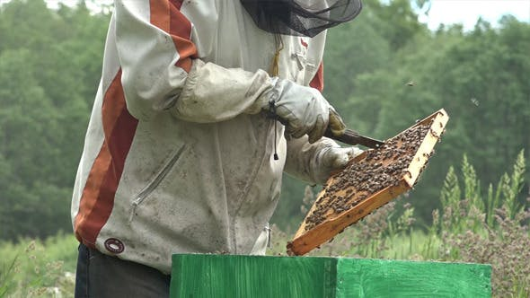 Honey Bees 11