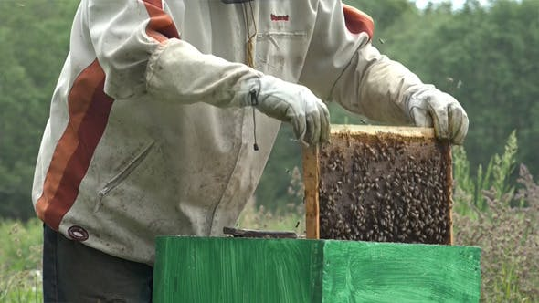 Honey Bees 12