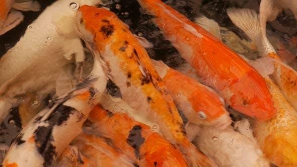 Thumbnail for Fancy Carp Fish