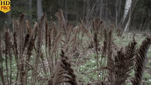 Thumbnail for Old Brown Fern Plants