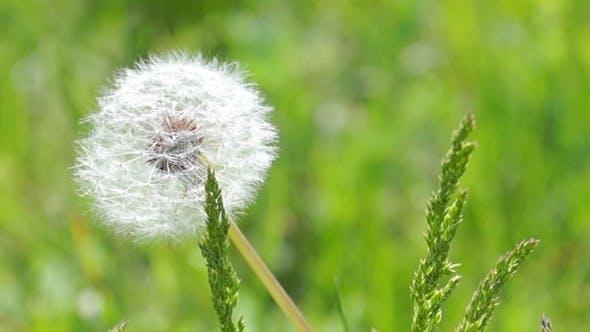 Thumbnail for White Fluffy Dandelion