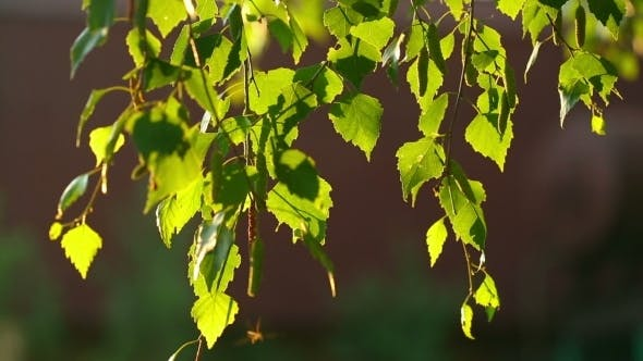 Cover Image for Birch Catkin