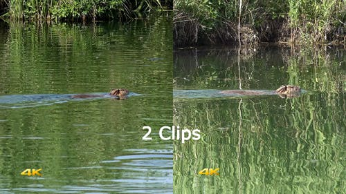 Real Wild Nutria in Natural Environment 2