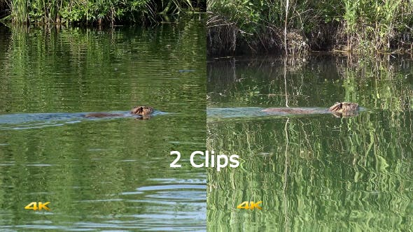 Thumbnail for Real Wild Nutria in Natural Environment 2