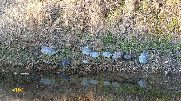 Thumbnail for Real Wild Turtles in Natural Environment
