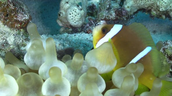 Thumbnail for Clown Anemonefish in Coral Reef