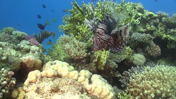 Thumbnail for African lionfish on Coral Reef