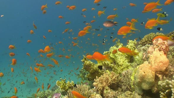 Thumbnail for Colorful Fish on Vibrant Coral Reef