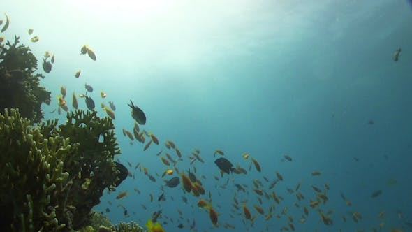 Thumbnail for Diver Swims Over Coral Reefs