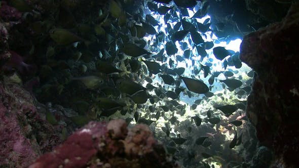 Thumbnail for Tropical Fish on Vibrant Coral Reef