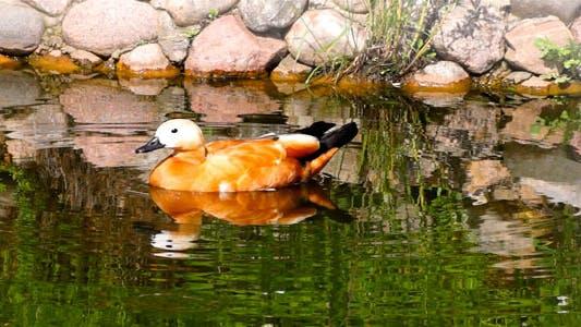 Thumbnail for Bird Duck