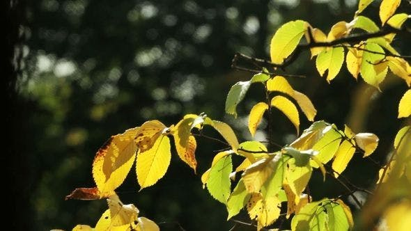 Thumbnail for Yellow Leaves On A Tree