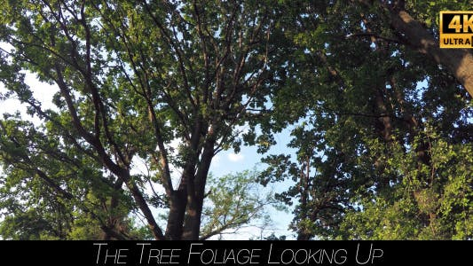 Thumbnail for The Tree Foliage Looking Up 4