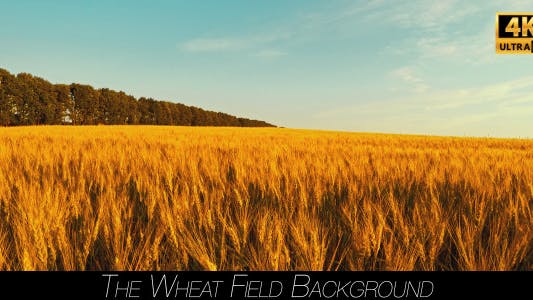 Thumbnail for The Wheat Field
