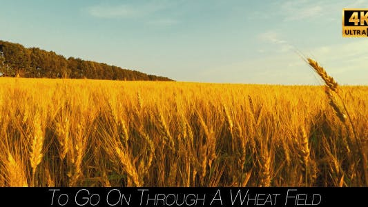 To Go On Through A Wheat Field