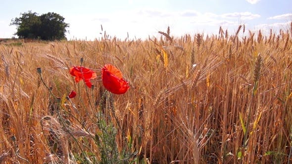 Thumbnail for Poppies Flowers on Wheat Field