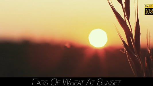 Cover Image for Ears Of Wheat At Sunset