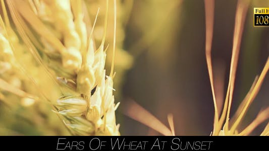 Thumbnail for Ears Of Wheat At Sunset 2