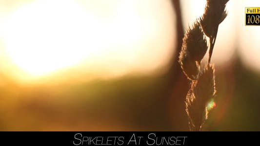 Thumbnail for Spikelets At Sunset