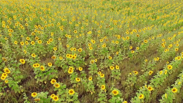 Thumbnail for A Bright Field of Rows of Ripe Yellow Sunflowers - Shooting From the Drone - Aerial