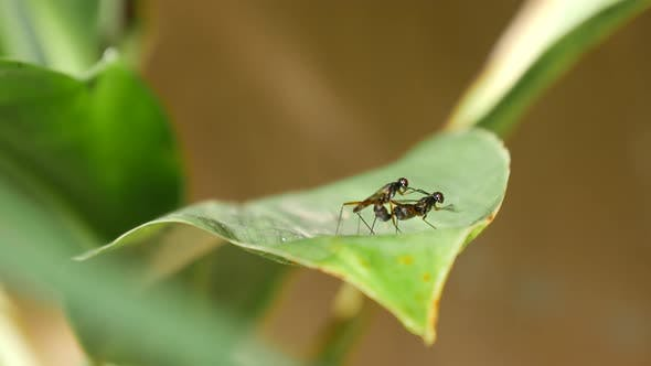 Thumbnail for Mosquitos mating on a green leaf in Bali