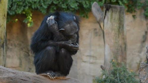 Chimpanzé blotté