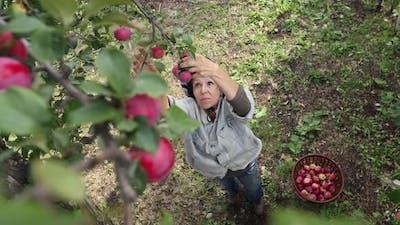 Apple Harvesting.