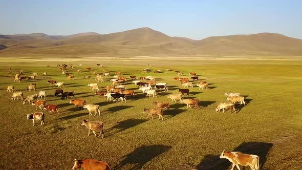 Cows Grazing on the Plateau of Savsat in Ardahan, Turkey