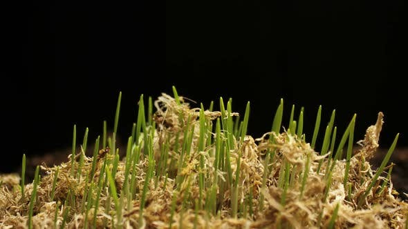 Thumbnail for Fresh Green Wheat Growing. Timelapse with Growing Plant New Life