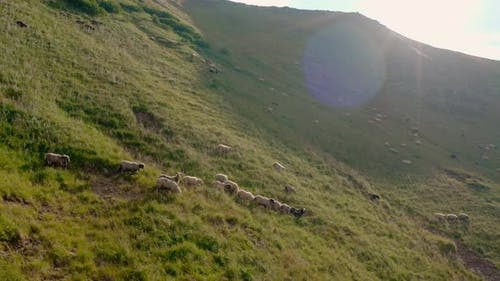 Aerial Drone View. Free Range Flock of Sheep on a Mountain Pasture, Svydovets Dragobrat