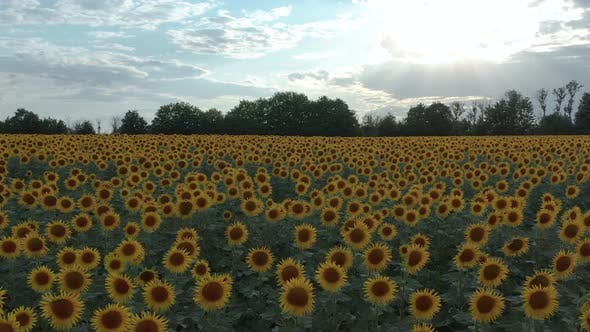 Thumbnail for Aerial View. Sunflowers in the Field Swaying in the Wind. Beautiful Fields with Sunflowers in the