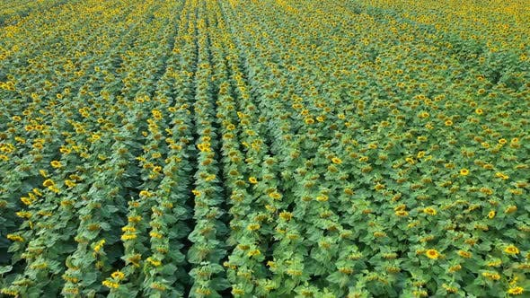 Thumbnail for Aerial View Field Of Sunflowers