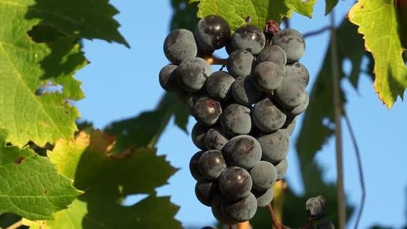Thumbnail for Views Of A Tuscan Vineyard (3 Of 11)