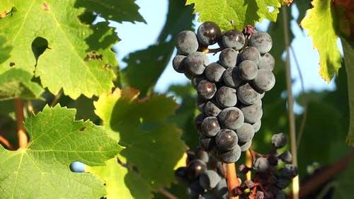 Views Of A Tuscan Vineyard (6 Of 11)