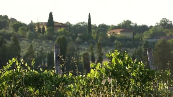Thumbnail for Views Of A Tuscan Vineyard (7 Of 11)