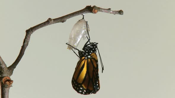 Thumbnail for Monarch Butterfly Emerges Chry