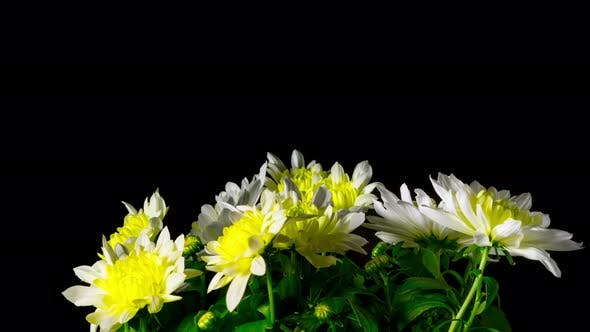 Thumbnail for Flowers Chrysanthemum Blooms