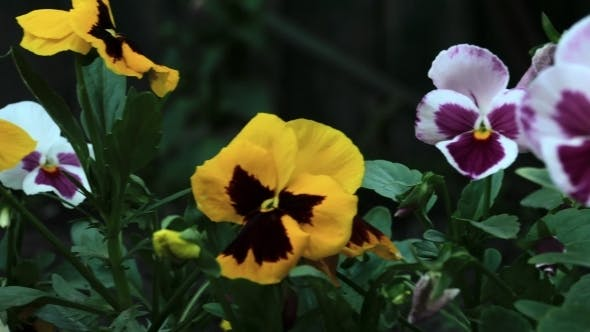 Thumbnail for Colourful Pansies