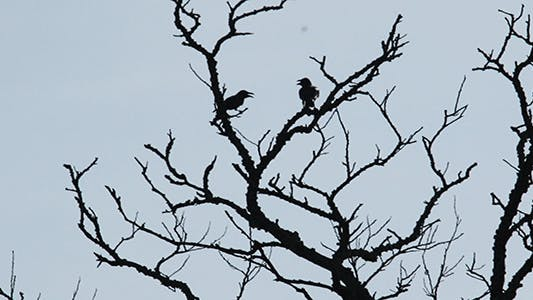 Crows in Backlight
