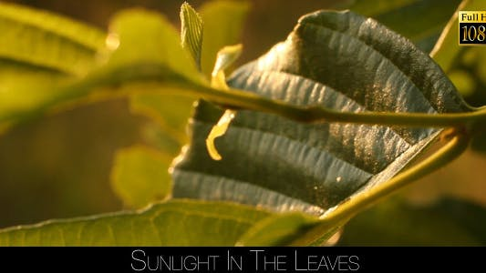 Thumbnail for Sunlight In The Leaves 68