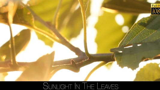 Cover Image for Sunlight In The Leaves 71