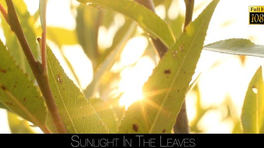 Thumbnail for Sunlight In The Leaves 72