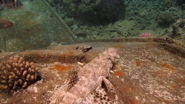Thumbnail for Crocodile Fish on Ship Wreck