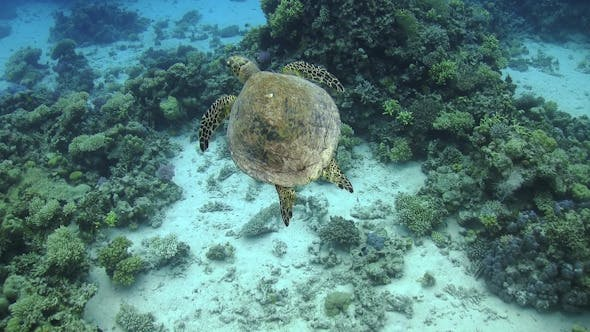 Thumbnail for Turtle Swimming over Coral Reef